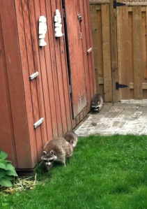 coons3