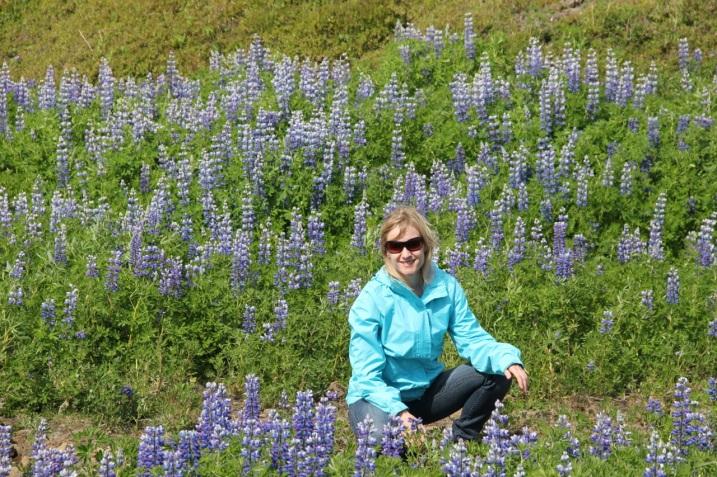 Fields full of purple lupines in Iceland