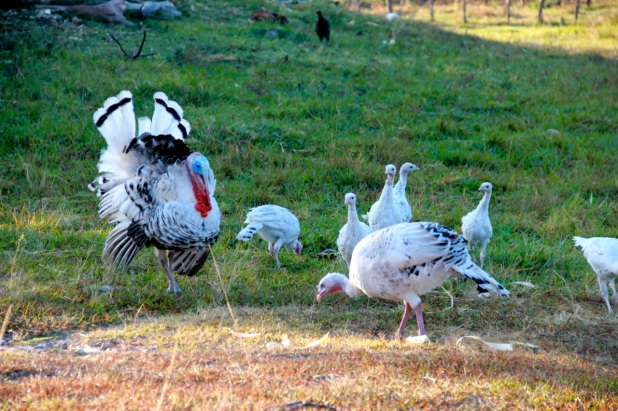 208_turkeys