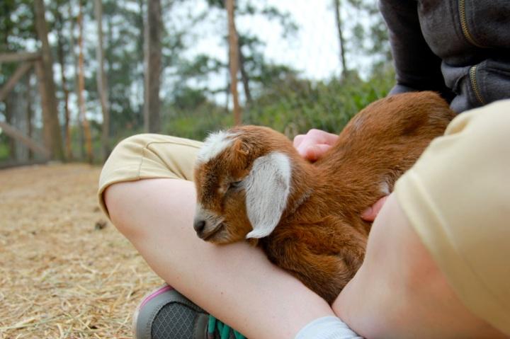 Baby goat!