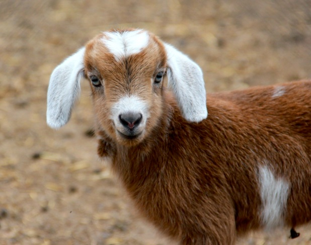 anotherbabygoat