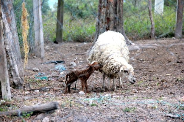 sheep&lamb